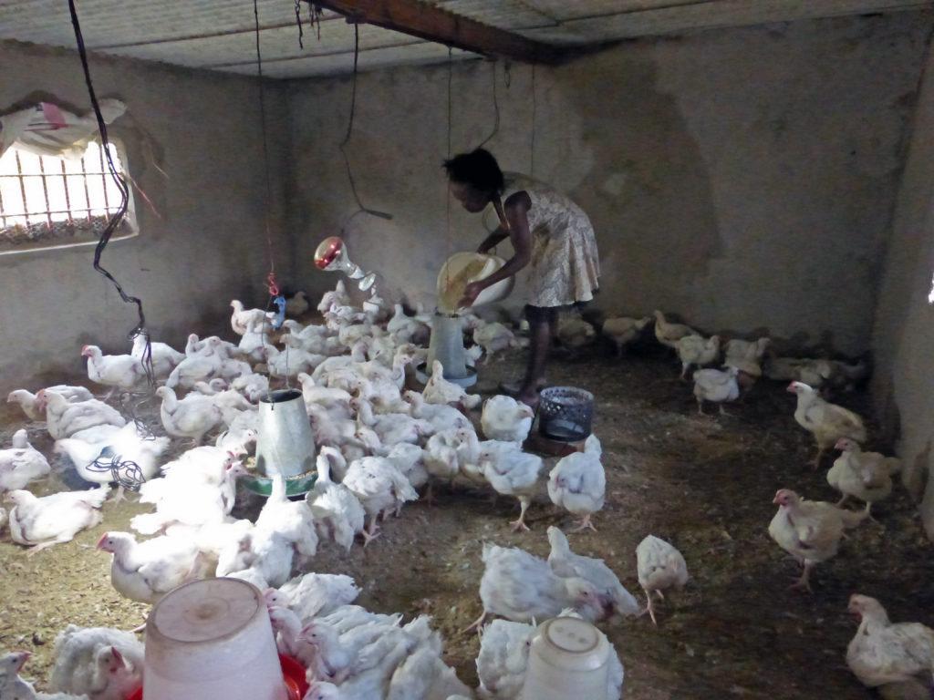(2017) Musole, Kabwe, Zambia, koppel 50 vleeskuikens